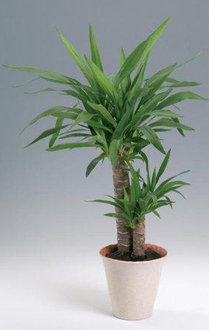 Растение драцена