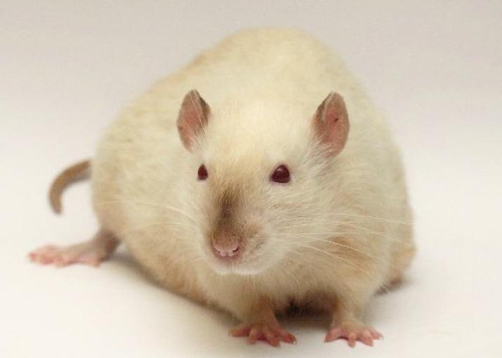 Инсульт у крысы лечение