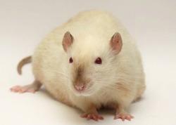 Инсульт у крыс