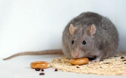 Диета для крыс