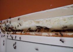 Как избавиться от бытовых муравьев?