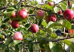 Как посадить яблоневый сад