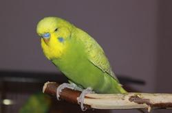 Заболевания волнистых попугайчиков
