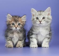Сибирская кошка: кормление