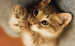 Почему коты мурлычат?