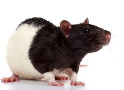 Разновидности декоративных крыс