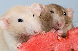 Кормление домашних крыс