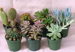 Домашние растения суккуленты