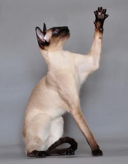 Дрессировка сиамских кошек