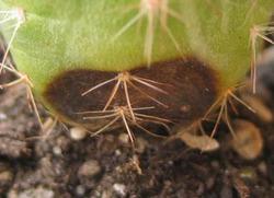 Почему гибнут кактусы?