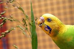 Питание волнистых попугайчиков