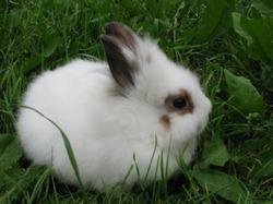 Разновидности карликовых кроликов