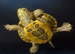 Разновидности домашних черепах