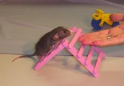 Дрессировка домашних крыс