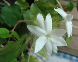 Комнатный цветок жасмин: уход