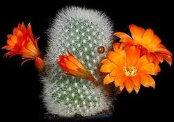 Горный кактус
