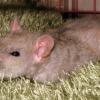 Домашняя крыса заболела