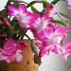 Как ухаживать за растением Декабрист